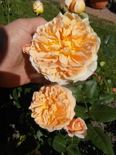 Crown Princess Margaretha.jpg