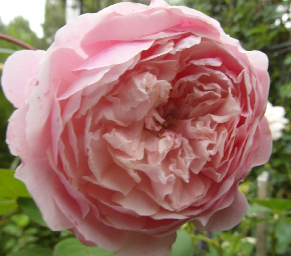 The Alnwick Rose.jpg